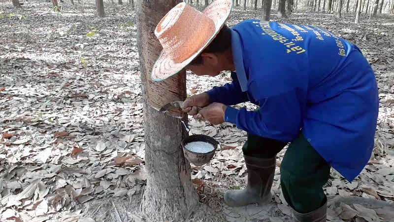 Thai man extracting rubber from a rubber tree.