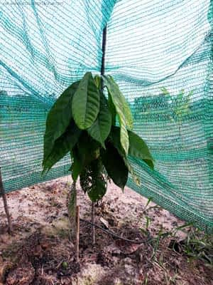 A small cocoa tree.