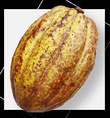 Forastero Cocoa