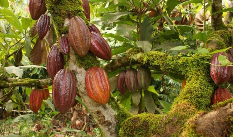 Cacao grown in the forrest.