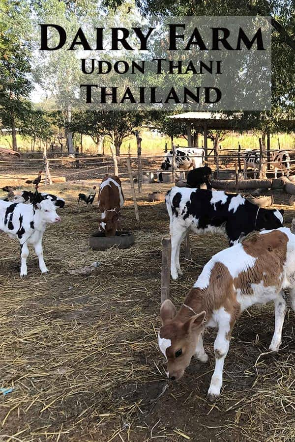 Exploring a Thai Isaan Dairy Farm