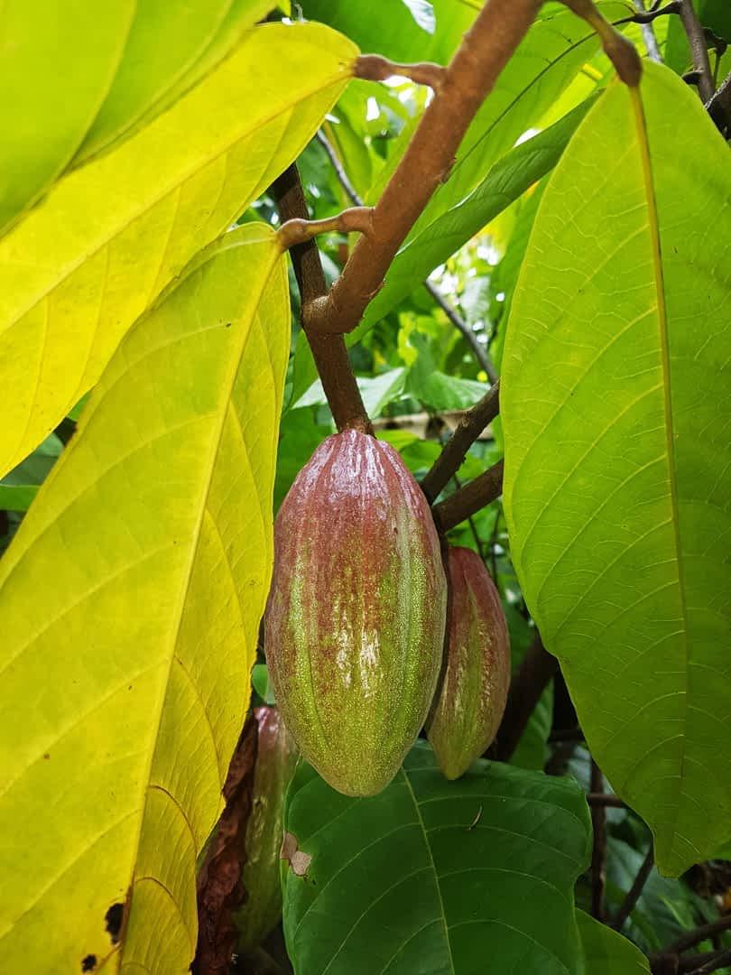 Visiting Cacao at Discovery Garden, Nong Khai